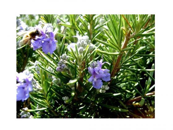 Набор для выращивания Зеленый капитал Розмарин zk-036 наборы для выращивания вырасти дерево набор для выращивания розмарин